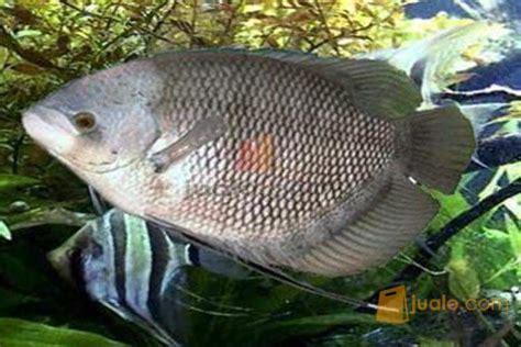 Bibit Ikan Gurame Salatiga dijual ikan gurame atau gurami surakarta sukoharjo