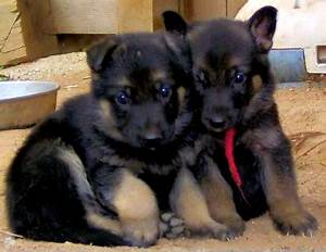 Black And Brown German Shepherd Mix Puppies Photo - Happy ...