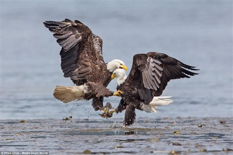 fight  flight magnificent bald eagles wage war  mid