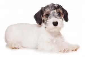 small non shedding dogs 3 breeds n through z