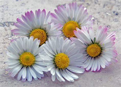 margherite fiori ste artistiche quadri e poster con fiori fiori e