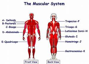 5th Grade Science Muscular System Diagram Quiz