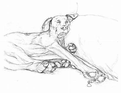 Dane Drawing Dog Sketch Drawings Bella Stacey