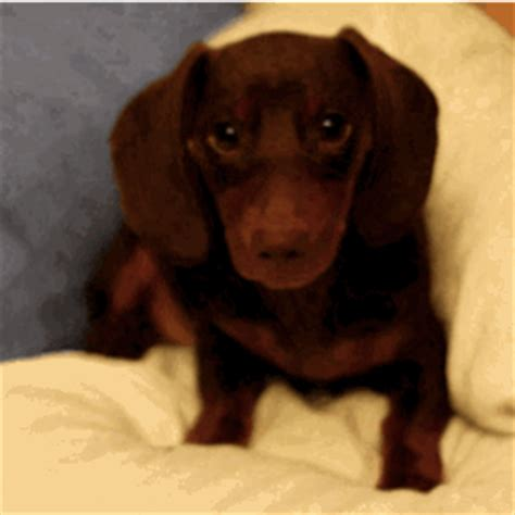 dozen cute  funny animated dog gifs cuteness overflow
