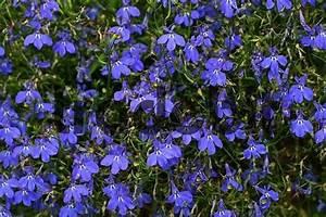 Kuebelpflanzen Winterhart Bluehend : h ngende blaue lobelie h ngendes m nnertreu bl u ~ Whattoseeinmadrid.com Haus und Dekorationen