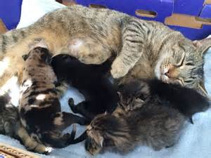 cats and kittens cat nurses 2 rottweiler puppies along with kittens