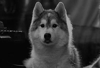 Huskies Husky Animated Dog Puppy Wolf Too