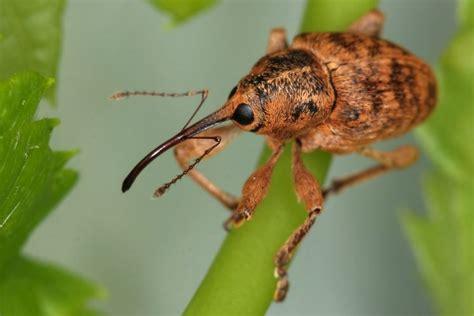 insetto nero volante scarabei parassiti delle piante scarabei piante