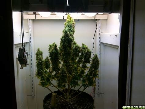 Growing In Closet by Nlnovice S Northern Lights Soil Cfl Cabinet Grow