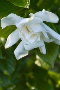 Gardenia Jasminoides Pflege : gardenien gardenia sorten und pflege anleitung ~ A.2002-acura-tl-radio.info Haus und Dekorationen