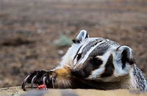 Digger the Badger - American Badger Facts, Activities ...