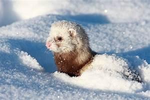 Ferrets, ferrets and more ferrets | Under the Toronto Sun