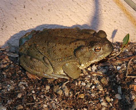 sonoran desert toad bufo alvarius  firefly forest