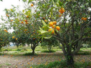 taille d un oranger en pot orange et oranger planter un oranger jardinage bio