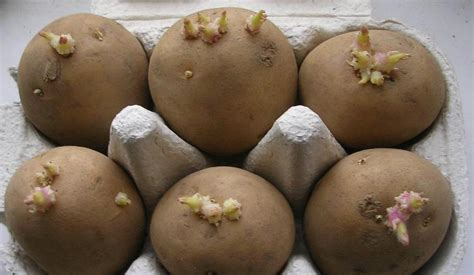 what are seed potatoes 301 moved permanently