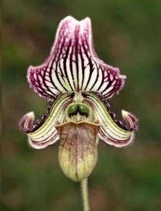 le sabot de v 233 nus une orchid 233 e d int 233 rieur