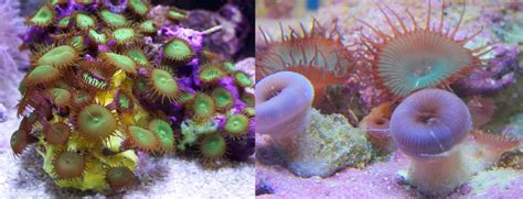 The Dangers (and Myths) Of Zoa Toxicity