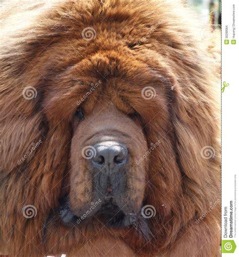 tibetan mastiff stock images image