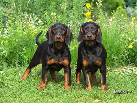 Do Black And Coonhounds Shed by How To A Black And Coon Hound