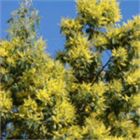 mimosa plantation taille et conseils d entretien