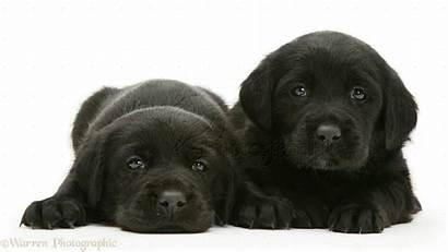 Labrador Puppies Lab Puppy Dogs Wallpapers Wallpapersafari
