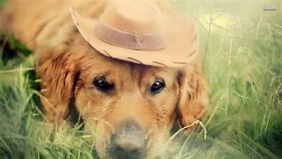 Retriever Golden Dog Labrador Animals Desktop Grass