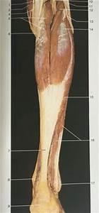 Lower Posterior Leg View  Gastrocnemius  Soleus  Plantaris