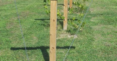 how to build a muscadine trellis muscadine trellis home gardening pinterest gardens grape trellis and fruit trees