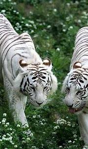 white tigers   Wildlife tour, Animals beautiful, Wildlife