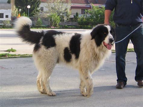 tornjak bosnian shepherd dog