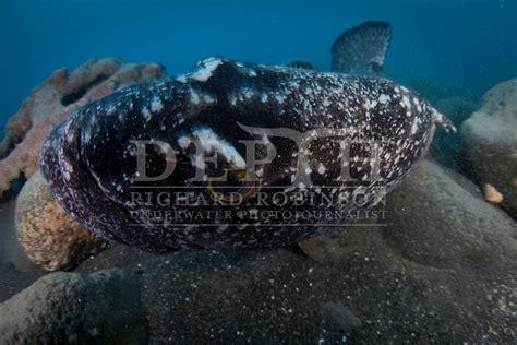 grouper underwater spotted robinson richard epinephelus photojournalist depth