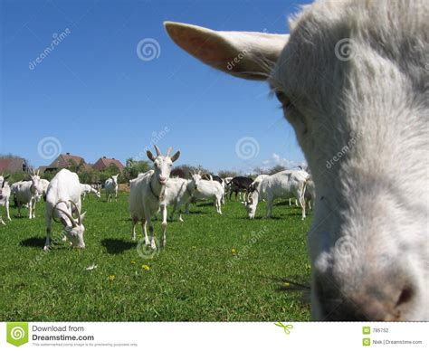 goats   field stock photo image  hairy horn