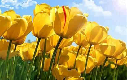Tulips Yellow Flowers Nature Wallpapers Flower Desktop