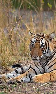 Royal Bengal Tiger - Subadult male in Ranthambhore Tiger ...
