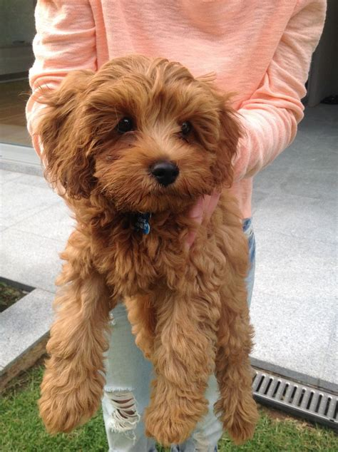 Do Mini Cockapoos Shed by Best 25 Cockapoo Ideas On Miniature