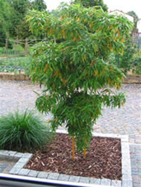 japanischer ahorn formschnitt mittelhohe sorten sortiment bambus bambusgarten die domain des bambus zentum rhein