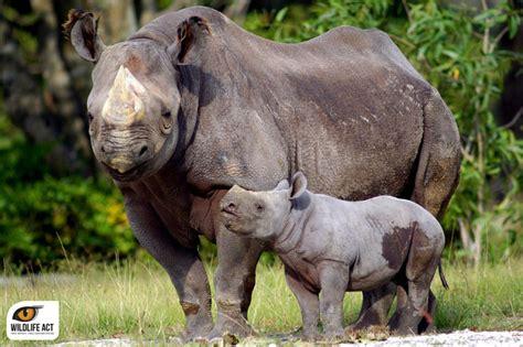 rhino endangered animals rinoceronte facts rhinoceros conservation extinct neushoorn wwf animales crias critically wildlife renosters africa nashorn calf zoo rhinos
