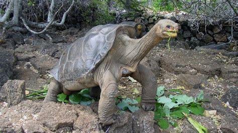 las tortugas vuelven  las islas galapagos