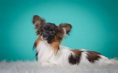 Animals Nature Dog Papillon Breed Puppy Toy