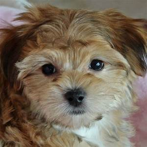 Morkie Puppy for Sale in Boca Raton, South Florida.