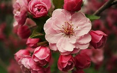 Blossom Flowers Pink Spring Blossoms Wallpapers Nature
