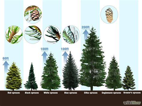 Kiefer Fichte Unterschied by 3 Ways To Identify Spruce Trees Wikihow