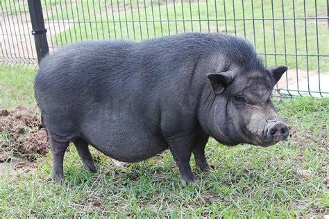 pot belly pigs vietnamese pot bellied pig fossil rim wildlife center