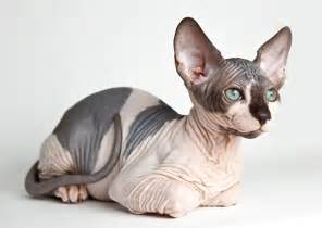 no hair cat breeds of dogs and cats with no hair