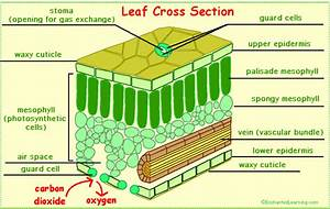 Leaves And Leaf Anatomy