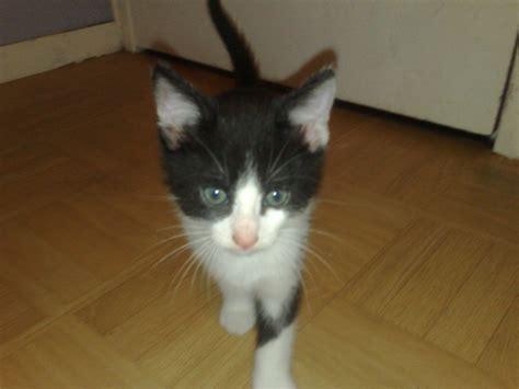 speedy siege social speedy chaton noir et blanc 6 semaines environ à réserver