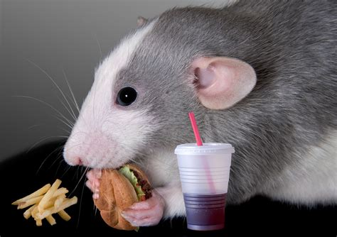 rat cuisine what this rat study can teach us about stress