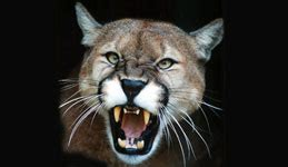 cougar mountain lion puma facts  sounds news