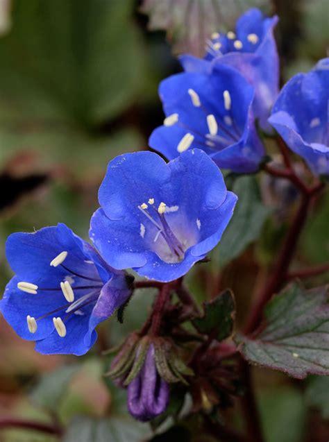 phacelia campanularia desert canterbury bells buy