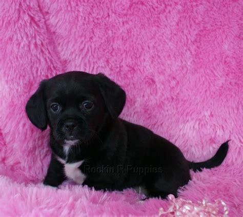 Ebony Peagle Rockin R Puppies